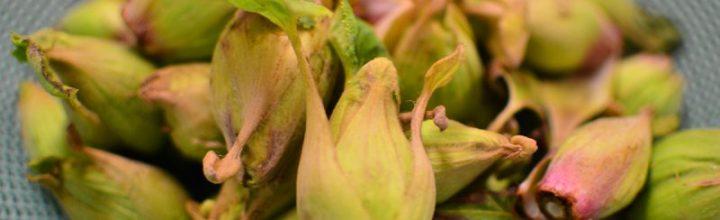 蕗の薹(ふきのとう)の季節