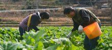 春の足音、バンドマンの菜の花農家