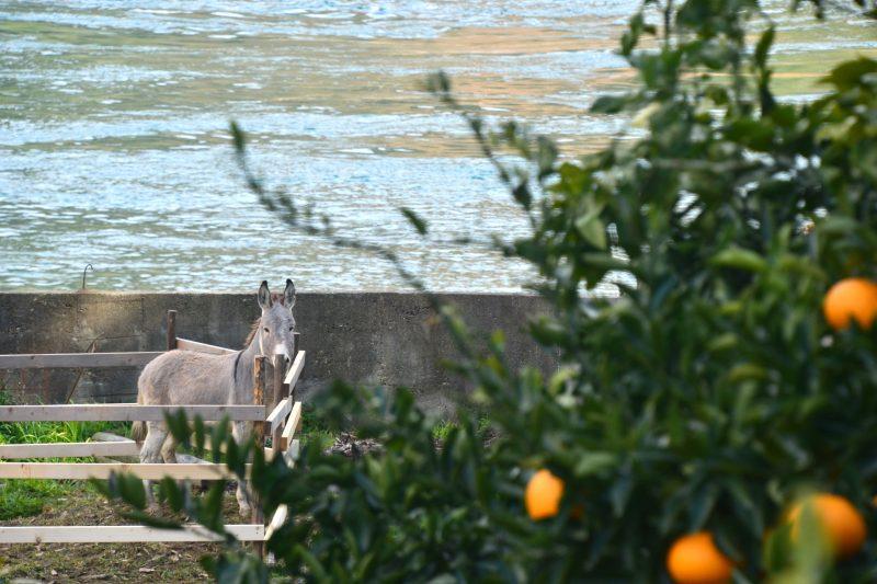 瀬戸内を眺める絶景のかんきつ農園。岡村島 – Okamura island
