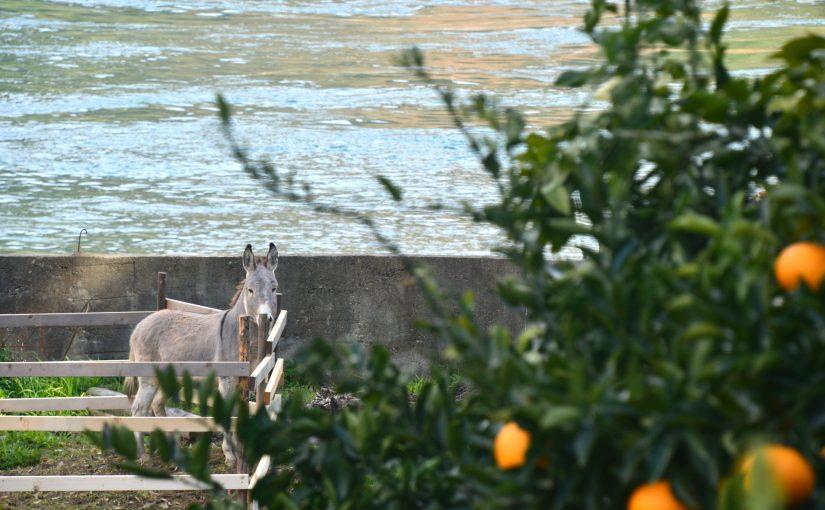 瀬戸内を眺める絶景のかんきつ農園。岡村島