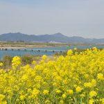 吉野川沿いの菜の花畑 – Canola flowers of Yoshino river, Tokushima pref.