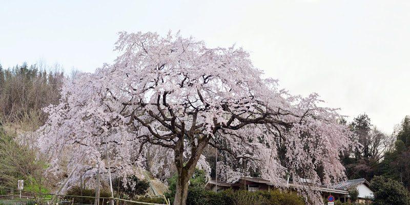 香川県綾川町の堀池のしだれ桜 Weeping cherry of Horike