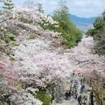 こんぴらさんの桜 The magnificent cherry trees at Konpira-san