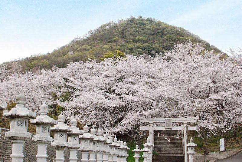 桜を見にことでんに乗って白山神社へ Cherry trees at Shirayama Shrine, Kagawa pref.