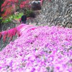 【徳島・4/22(日)まで】にほんの里100選 「高開(たかがい)石積み」の芝桜 Takagai's stone wall the 100 best villages in Japan