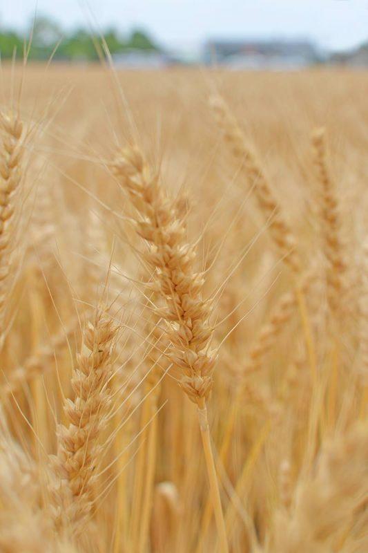 麦秋(ばくしゅう)の讃岐平野 Wheat field of Sanuki