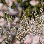 【梅のお花見】今日から神山の梅園でミツバチ働く