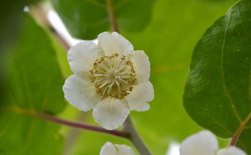 佐那河内村、キウイの花 Flowers of kiwi