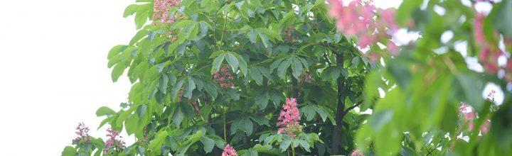マロニエの並木が窓辺に見えてた
