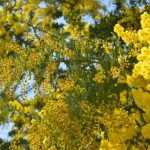 春の色で染まる村。さなごうち – Beautiful mimosa tree of Sanagochi village