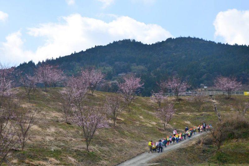 佐那河内村の河津桜(かわづざくら)が見頃