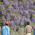 春の花を巡る山のフィールドワーク。さなごうち – Fieldwork of spring mountain at Sanagochi village