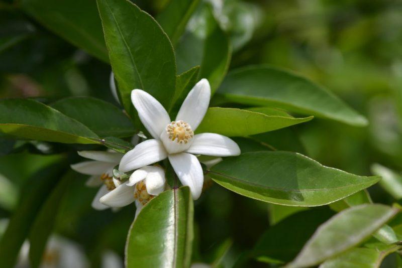 すだちの花がいい香り。村すだち