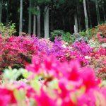 山里を彩る5000本のツツジ「神山町上分花の隠里」 – Azaleas blooms of Kamiyama