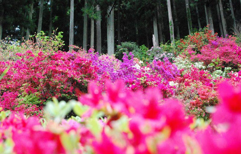 山里を彩る5000本のツツジ「神山町上分花の隠里」