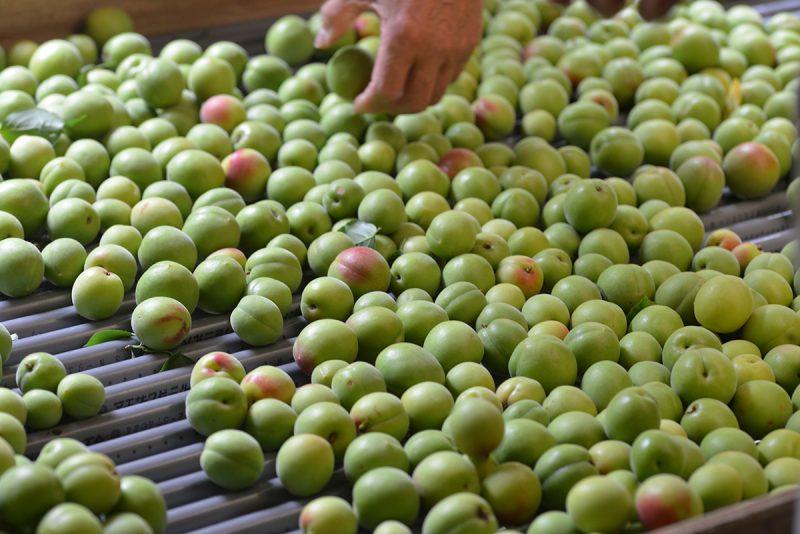 徳島・神山、大久保さんの梅収穫