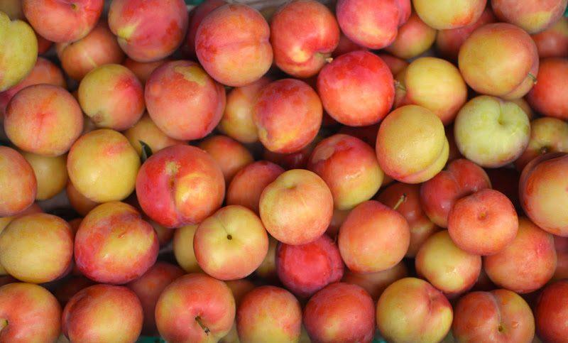 赤く実る、スモモ。飯田桃園 – Red plum of Iida peach garden