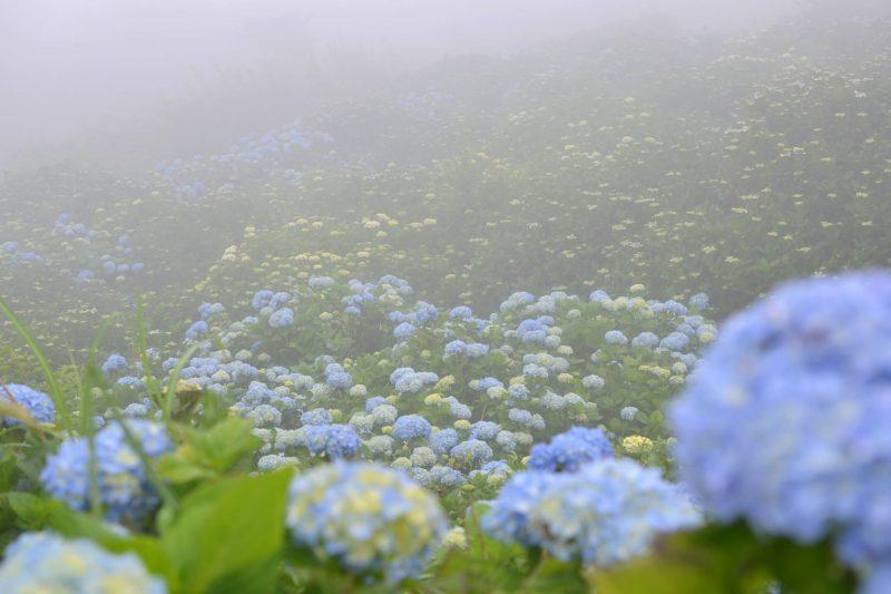 大川原高原、3万本の紫陽花