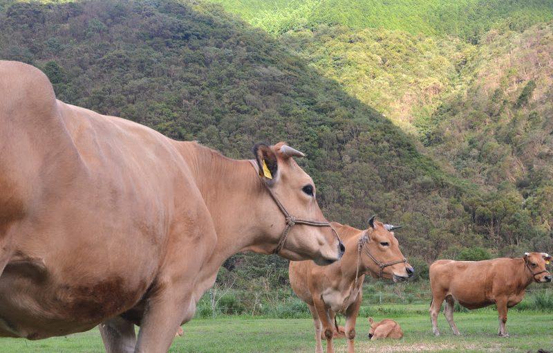 室戸の海と土佐の赤牛