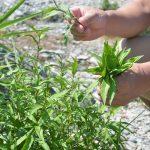 村の和ハーブ Finding Sanagochi Herbs