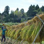 徳島県唯一の農村のお米の収穫とハゼ掛け – Hazekake, rice crop in the Sanagochi village