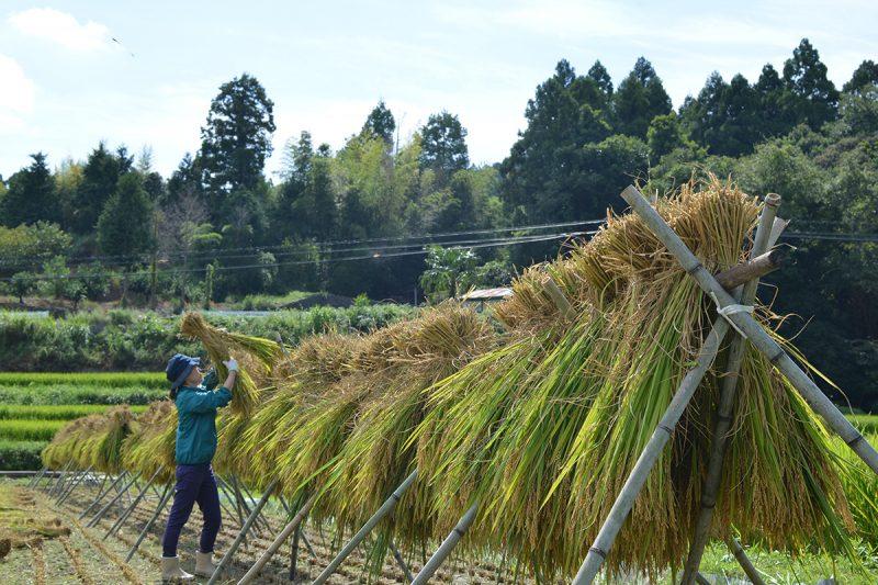 徳島県唯一の農村のお米の収穫とハゼ掛け