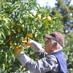 佐那河内村、柚子のいい香り – Good smell, Yuzu orchard at Sanagochi village