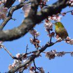 【香川2/24-25梅まつり】梅の香りに誘われてメジロがやってきました Birds came to ume trees at the Ritsurin Garden