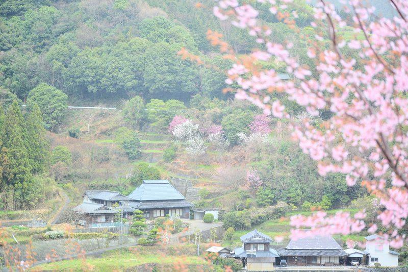 江戸時代に徳島城で愛でられていた「蜂須賀桜(ハチスカザクラ)」
