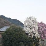 白と紫のモクレンの木 – Purple and White Magnolia