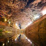 """水面に映る桜、鹿の井出水(しかのいですい) """"Shikanoidesui"""" Deer well water"""
