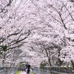 """香川・桜のトンネル『竜桜(りゅうおう)公園』 – """"Ryuo Park"""" Tunnel of cherry blossoms"""
