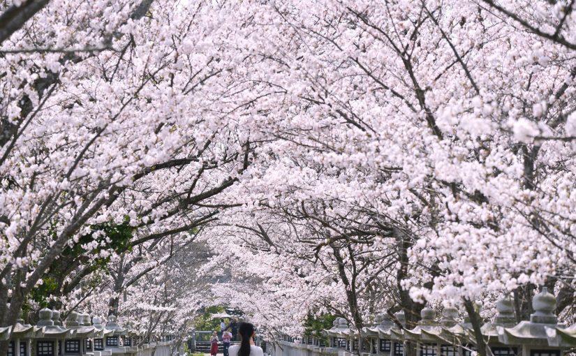 """香川・桜のトンネル「竜桜(りゅうおう)公園」 – """"Ryuo Park"""" Tunnel of cherry blossoms"""