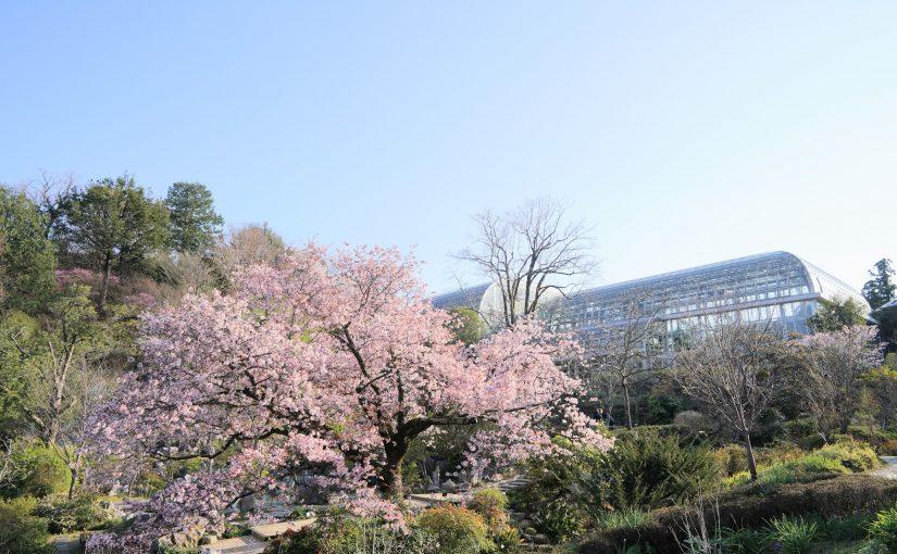 【これが高知の桜】日本の植物学の父、牧野富太郎がみつけたセンダイヤ桜 – Sendaiya cherry tree