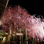 見事に咲き誇る。淡路島「八木のしだれ梅」Weeping plum tree at Awaji island