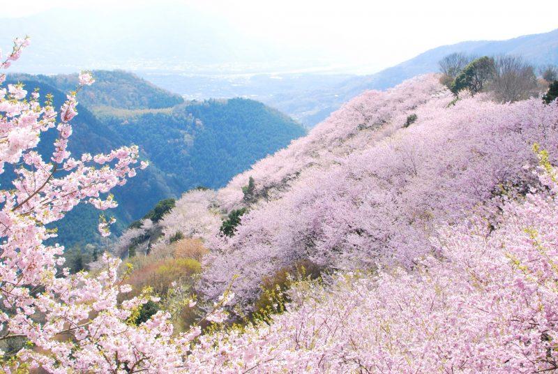 八千本、桜の山、八百萬神之御殿の桜 – 8,000 cherry trees "Yaoyorozu no Kamino Goten"