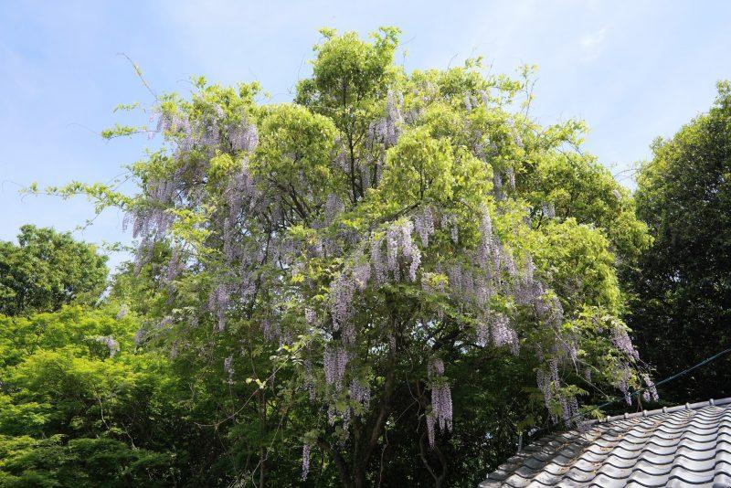 【香川・さぬき百景】手付かずの鎮守の森『藤尾八幡神社』の藤(フジ) – Fujio Hachiman Shrine