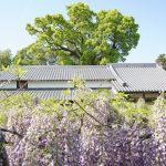 樹齢800年の孔雀藤。香川県高松市の岩田神社 – Peacock Wistaria at Iwata shrine