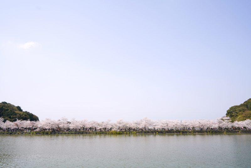 全長300mの池に浮かぶ桜並木、亀鶴公園 –  Kagawa Pref. Kikaku park