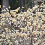 神山の三椏(ミツマタ) – Oriental paperbush