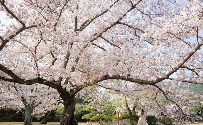 """早起きして栗林公園の桜をみるのがオススメ – Special Beauty Spot """"Ritsurin Garden"""" in the morning"""