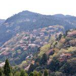 この季節、村の山並みにみえる山桜 – Wild cherry trees at Sanagochi village