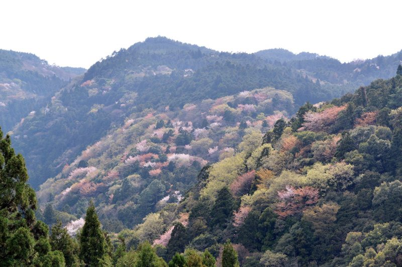 この季節、村の山並みにみえる山桜 – Wild cherry trees at Sanagochi village