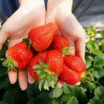 甘い香り。いちご狩り スカイファーム – Strawberry Picking