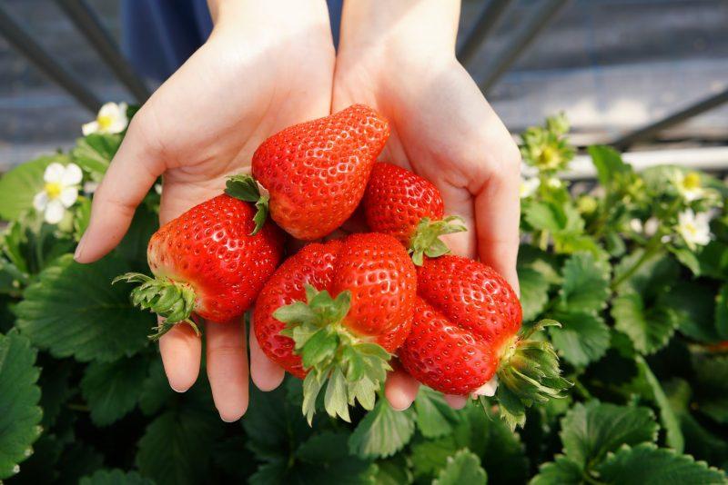 """甘い香り。いちご狩り スカイファーム – Strawberry Picking """"SKY FARM"""""""