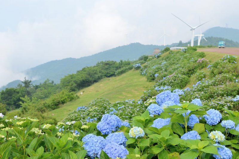 【国交省・四国八十八景に認定】最後の村、大川原高原3万本の紫陽花(あじさい) – 30,000 hydrangeas at Okawara plateau, Sanagochi Village
