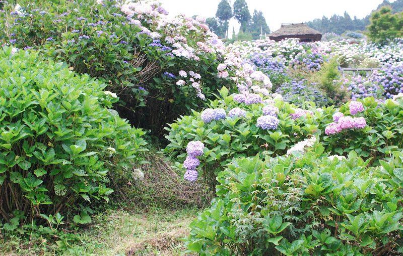【愛媛・6/24(日)】約2万株のあじさい!四国の山里 「あじさいの里」 – The Hydrangea Village at Shikoku