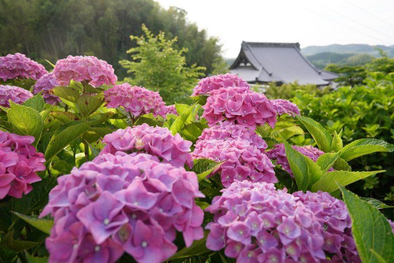 20種・1500株のあじさい。花の寺「勝名寺」 – Flowery Shōmyōji temple