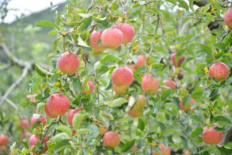 りんごのある風景 – Apple landscape at Mashiko town