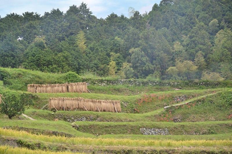 棚田米の収穫 – Tanada rice